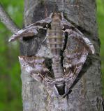 Smerinthus cerisyi - 7822 - mating pair