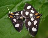 Anania funebris glomeralis - 4958a - White-spotted Sable Moths
