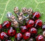 Spiny Stink Bug nymphs and eggs