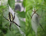 Argiope aurantia - male & female on web