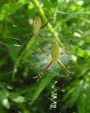 Argiope trifasciata females