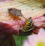Podisus stinkbug with prey