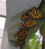 butterfly-row-1-small.jpg