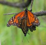 monarch-pair-1-large.jpg