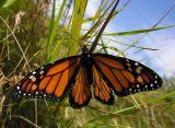 monarch-13-08-06-large.jpg
