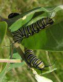 monarch-cat-pair-small.jpg