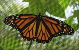 monarch-female-1-large.jpg