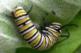 monarch-little-feet-small.jpg