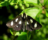 Alypia octomaculata - 9314 - Eight-spotted Forester