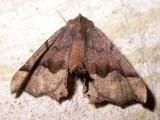 Pero ancetaria [hubneraria] - 6754 - Hubner's Pero Moth