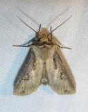 Agrotis stigmosa (?) - 10658 - Spotted Dart Moth (?)