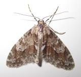 Cladara limitaria - 7637 - Mottled Gray Carpet Moth
