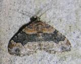 Xanthorhoe ferrugata (?) - 7388 - Red Twin-spot