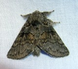 Lasionycta albinuda (?) - 10355