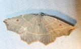 Metanema inatomaria - 6819 -- Pale Metanema Moth