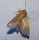 Pseudaletia unipuncta - 10438 - Armyworm Moth