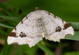 Macaria notata - 6330 - Birch Angle Wing