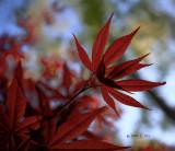 Crimson Maple Fragments