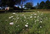 Queen Anne's Lace Field