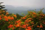 Roan Mtn Flaming Azaleas