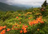 Roan Mountain Azalea Field