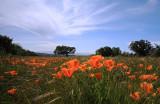California Poppy Field