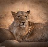 Kruger Lion 1