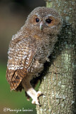 Young tawny owl
