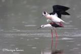 Black-winged stilt mating