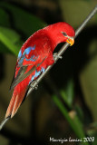 Violet-necked lory