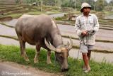 Peasant and its buffalo