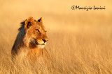 Giovane leone maschio all'alba , Young lion male at sunrise