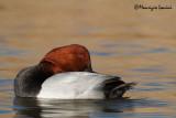 Moriglione , Common pochard sleeping time