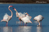 Fenicotteri , Greater Flamingos
