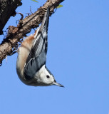 Nuthatches, Creeper, Wrens & Kinglets