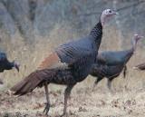 Pheasant, Prairie-Chickens, Turkey & Quail