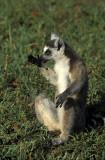 Lemur, Kaleta Reserve