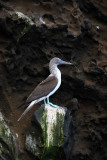 Blue-footed booby near Tagus Cove, Isabela Island