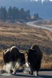 Bisons at Hayden Valley