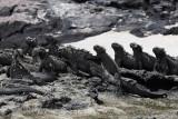 Marine iguanas, Punta Espinosa, Fernandina Island