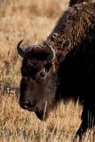 Bison at Hayden Valley