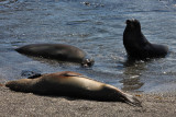 Galapagos sea lions, Punta Espinosa, Fernandina Island
