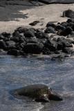 Marine tortue, Punta Espinosa, Fernandina Island
