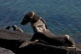 Dying young sea lion, Punta Espinosa, Fernandina Island