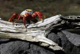 Sally lightfoot crab, Punta Espinosa, Fernandina Island