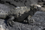Marine iguana, Punta Espinosa, Fernandina Island