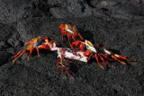 Crab's meal; Punta Espinosa, Fernandina Island