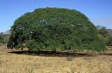 Guanacaste, Costa Rica's national tree
