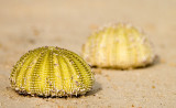 Sea urchin skeletons