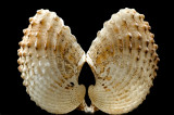 Dancing shells